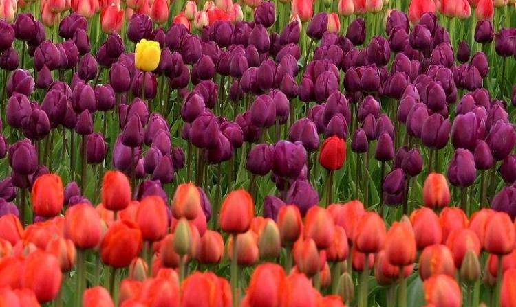 Veld met tulpen in oranje en paars. Er staat 1 gele tulp op het veld.