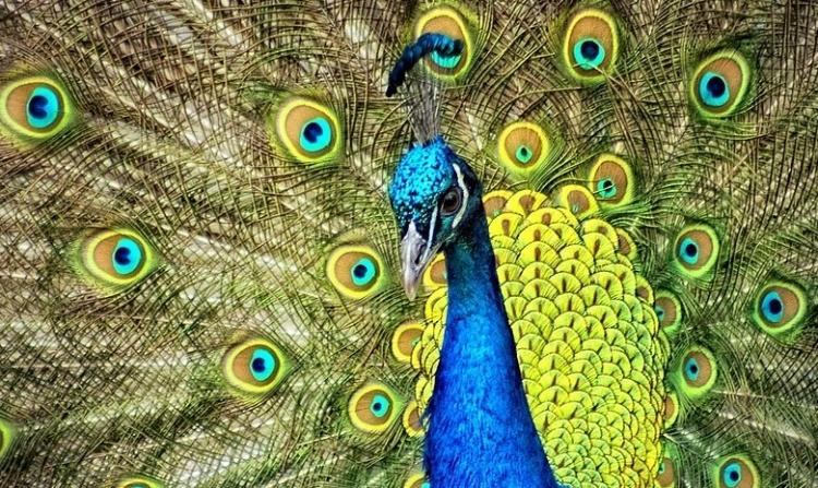 een pauw die zijn veren in alle pracht en praal uitspreidt